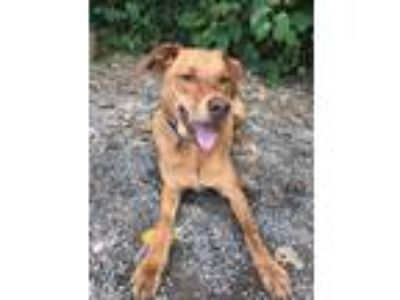 Adopt Logan a Red/Golden/Orange/Chestnut Vizsla / Mixed dog in Elmsford
