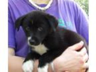 Adopt Emmy a Black - with White Border Collie / Shepherd (Unknown Type) / Mixed