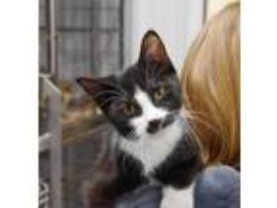 Adopt Attila a Domestic Short Hair