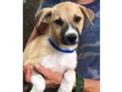 Adopt Clay - one beautiful puppy a Shepherd