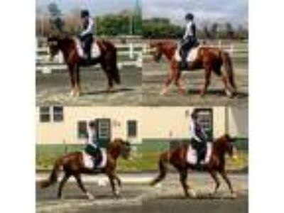 Hanoverian 15hh Hunter Jumper Trail Riding Dressage Endurance