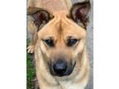Adopt Charlie Brown a Tan/Yellow/Fawn - with Black German Shepherd Dog / Mixed