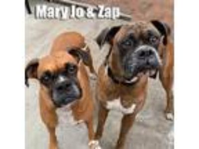Adopt MaryJo and Zap a Tan/Yellow/Fawn - with Black Boxer / Mixed dog in Encino