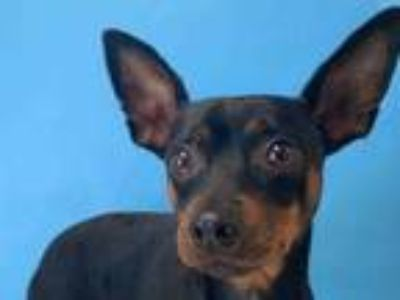 Adopt Bacardi a Black Miniature Pinscher / Mixed dog in St. Paul, MN (25833867)