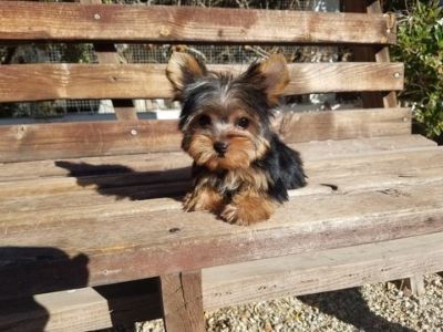 Yorkshire Terrier PUPPY FOR SALE ADN-99813 - Teacup Yorkie Boy