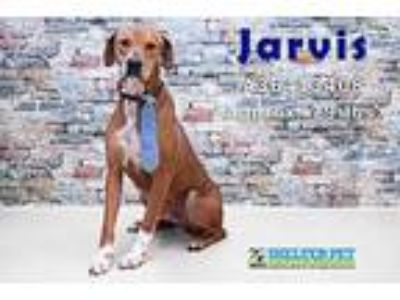 Adopt Jarvis DIR A 10-5-18 a Brown/Chocolate Hound (Unknown Type) / Mixed dog in