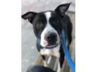 Adopt Zooey a Black American Pit Bull Terrier / Mixed dog in Kansas City