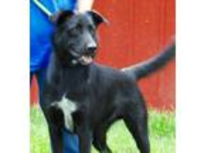 Adopt Lucky a Black - with White Border Collie / Mixed dog in Joplin