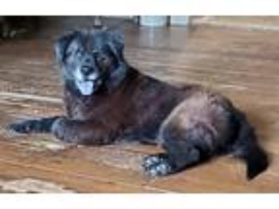 Adopt Bella Bear a Brown/Chocolate - with Black Labrador Retriever / Chow Chow /
