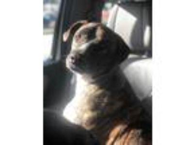 Adopt Ashanti a Brindle Dutch Shepherd / Mixed dog in red oak, TX (25895489)