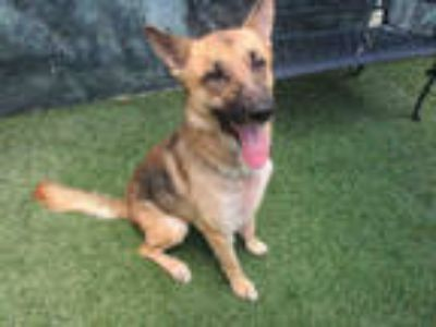 Adopt MAZE a Black - with Tan, Yellow or Fawn German Shepherd Dog / Mixed dog in