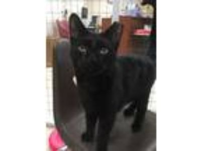 Adopt Jake a American Shorthair, Domestic Short Hair