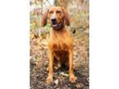 Adopt Rusty a Redbone Coonhound, Mixed Breed