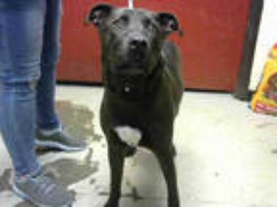 Adopt CONGO a Black Labrador Retriever / Mixed dog in Atlanta, GA (25580260)