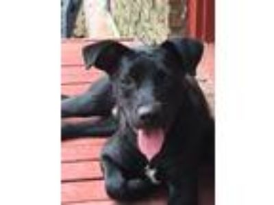 Adopt Adam a Black - with White Labrador Retriever / Pit Bull Terrier / Mixed