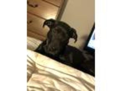 Adopt Lola a Black Labrador Retriever / American Pit Bull Terrier / Mixed dog in