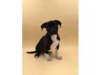 Adopt Oreo a Pit Bull Terrier / Mixed dog in Thousand Oaks, CA (25881945)