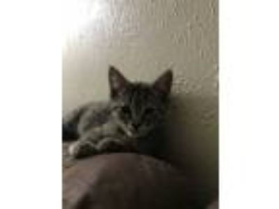 Adopt Toad a Spotted Tabby/Leopard Spotted Domestic Shorthair cat in Fort Worth