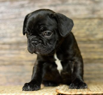 French Bulldog PUPPY FOR SALE ADN-78145 - Frenchie MALE puppie