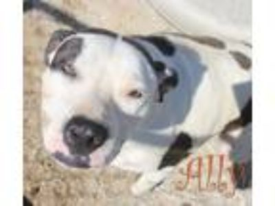 Adopt Ally a American Staffordshire Terrier