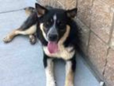 Adopt JESSE a Australian Cattle Dog / Blue Heeler, Mixed Breed