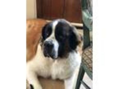 Adopt Clifford a Tricolor (Tan/Brown & Black & White) St.