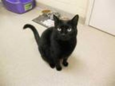 Adopt LULU a All Black Domestic Shorthair / Mixed (short coat) cat in Vero