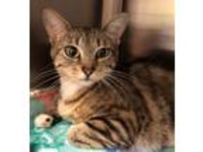 Adopt Hazel a Brown Tabby Domestic Shorthair / Mixed (short coat) cat in