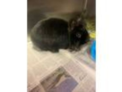 Adopt HENRIETTA a Black Lionhead / Dwarf / Mixed rabbit in Newport News