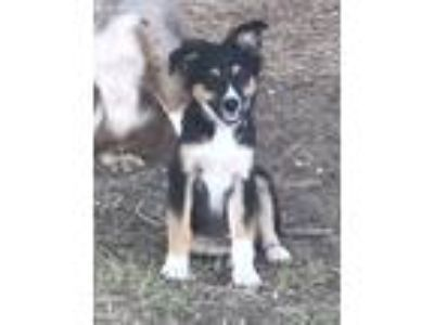 Puppy - For Sale Classifieds in Bryan, Texas - Claz org