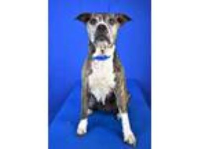 Adopt Waverly a Black American Pit Bull Terrier / Boxer / Mixed dog in Cabot