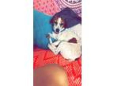 Adopt Jesse a Black - with Tan, Yellow or Fawn Jack Russell Terrier / Mixed dog