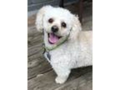 Adopt Buddy T a White - with Red, Golden, Orange or Chestnut Poodle (Miniature)