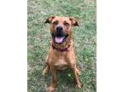 Adopt Max a Red/Golden/Orange/Chestnut Boxer / Labrador Retriever / Mixed dog in