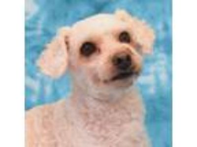 Adopt Beau a White - with Tan, Yellow or Fawn Bichon Frise / Poodle (Miniature)