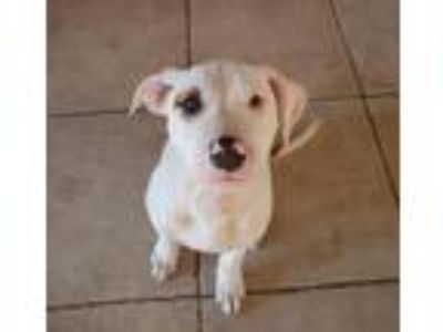 Adopt Jack a White - with Black American Pit Bull Terrier / Labrador Retriever /