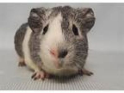 Adopt Thatcher a Guinea Pig (short coat) small animal in Brooklyn, NY (25869452)