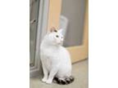 Adopt JJ a White Domestic Shorthair / Domestic Shorthair / Mixed cat in Chicago
