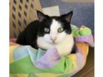 Adopt Pita a Domestic Short Hair