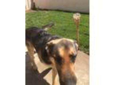 Adopt Bailey a Black - with Tan, Yellow or Fawn German Shepherd Dog / Mixed dog