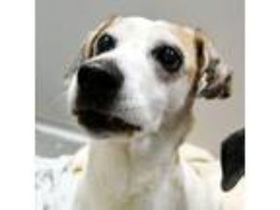 Adopt Jack -- Bonded Buddy With Jill a Beagle
