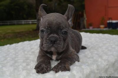 vaccinated male and female french bulldog puppies for sale