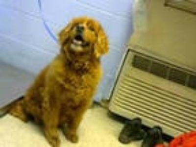Adopt SUSIE a Red/Golden/Orange/Chestnut Cocker Spaniel / Golden Retriever /