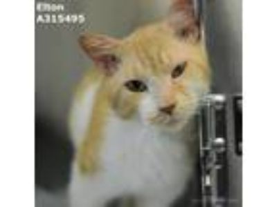 Adopt ELTON a Orange or Red (Mostly) Domestic Shorthair / Mixed (short coat) cat