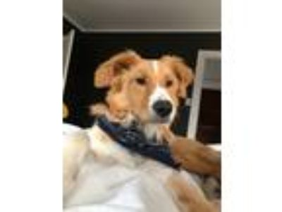 Adopt Ryder a Tan/Yellow/Fawn - with White Golden Retriever / Border Collie dog