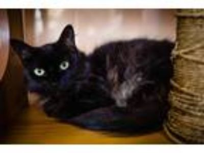 Adopt MOMMA a All Black Domestic Shorthair / Mixed (short coat) cat in Orlando