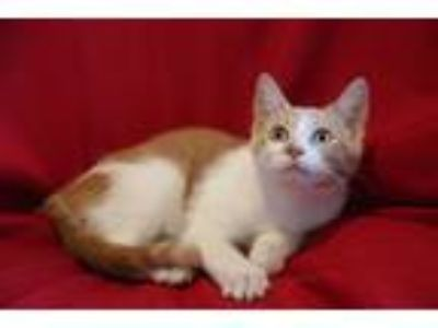 Adopt Glove a Orange or Red (Mostly) Hemingway/Polydactyl (short coat) cat in