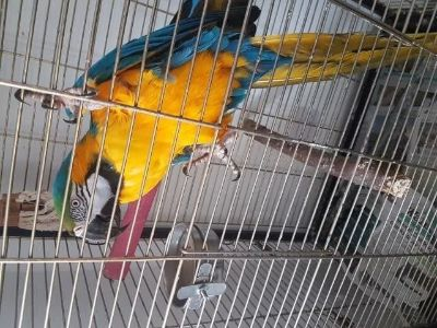 healhy Blue And Gold Macaw read to go now 2148140362