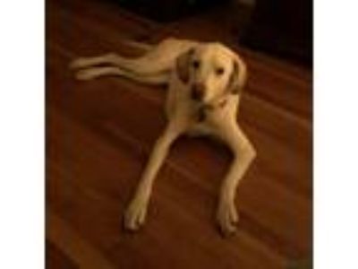 Adopt Sadie a Tan/Yellow/Fawn Labrador Retriever / Mixed dog in Greenville