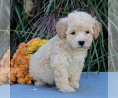 Goldendoodle Puppies Lancaster Pennsylvania Classifieds